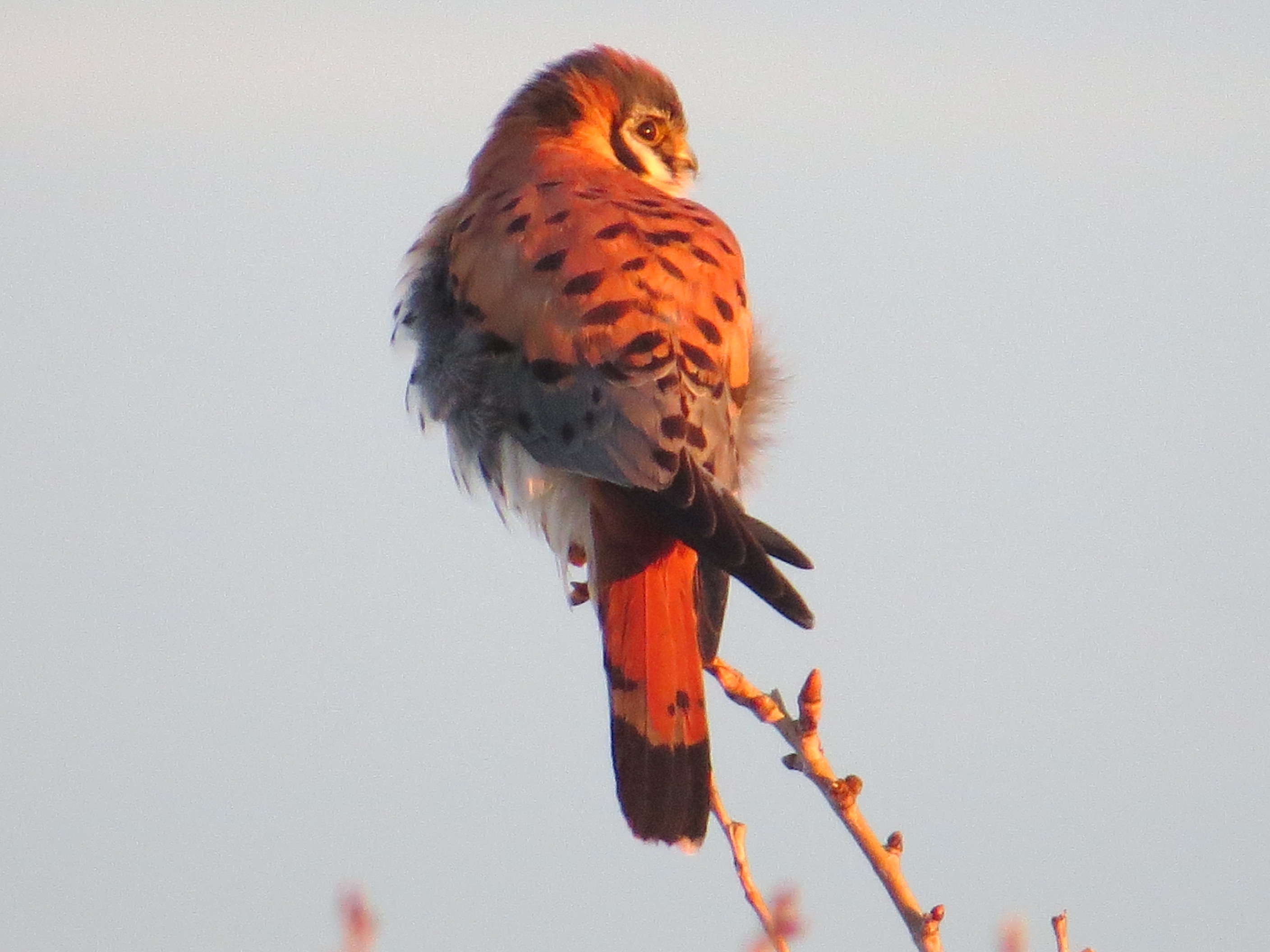 Sunrise On The American Kestrel Male This Morning, A Few Minutes Before He  And The Female Mated On Their Favorite Roof Top Pipe.