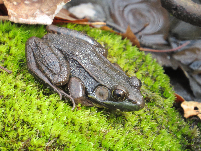 Backyard Frogs frog songs | backyard and beyond