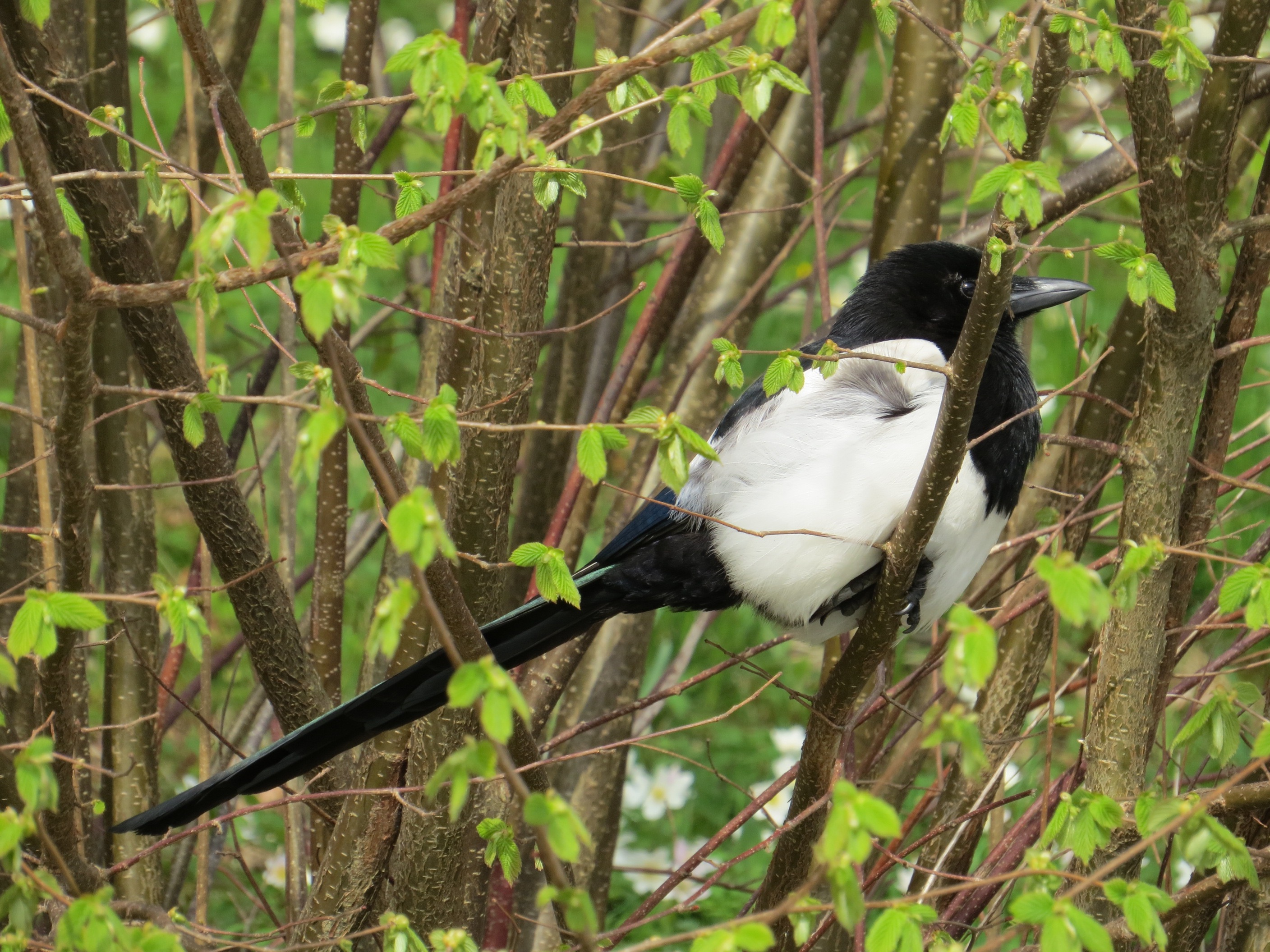 Magpie Birds In Backyards more swedish birds | backyard and beyond