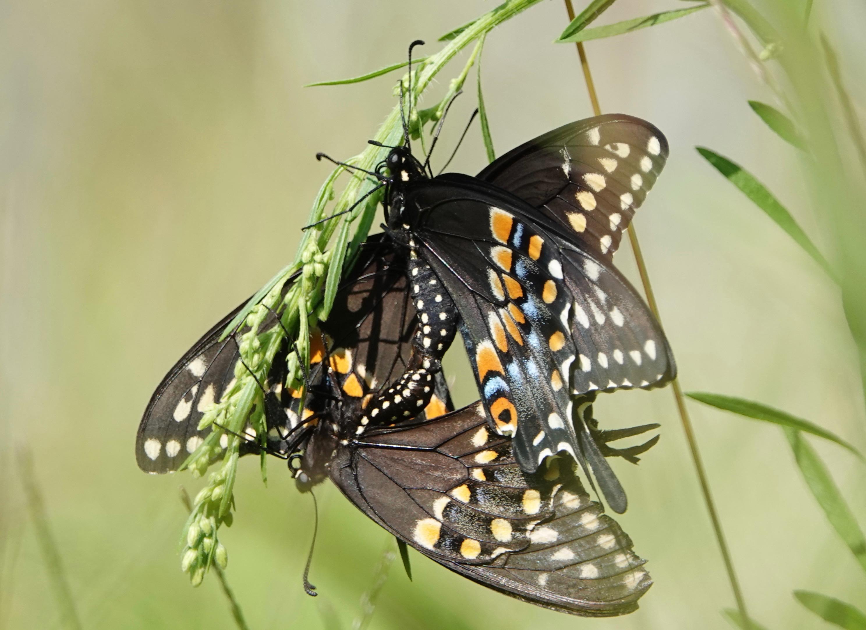 butterflies | Backyard and Beyond